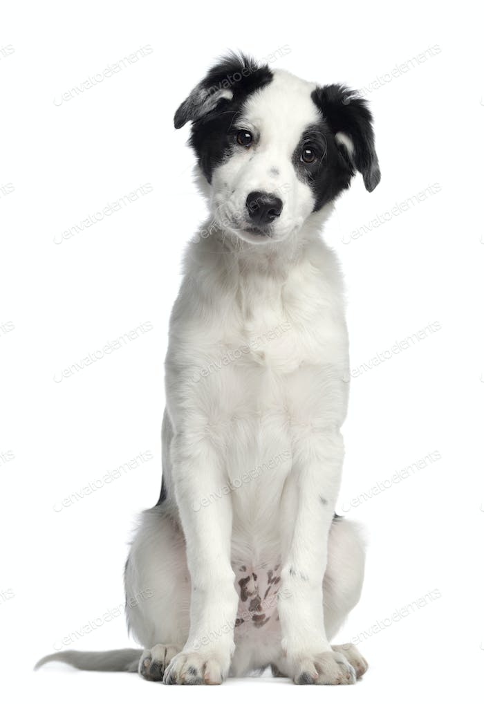Border Collie, 3 months old, sitting and facing, isolated on white