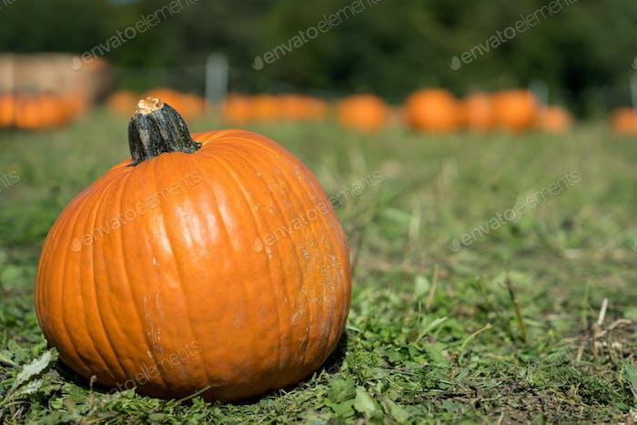 Pumpkin patch in Octorber