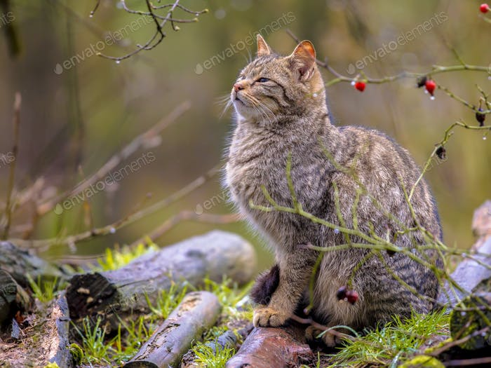 Wild cat in bush