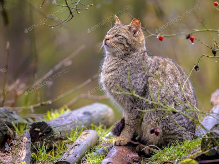 Wild cat in bush