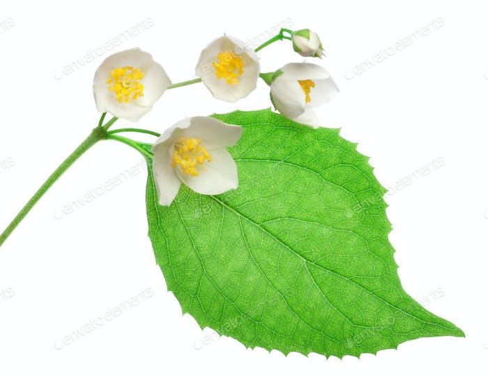 Jasmine flowers isolated
