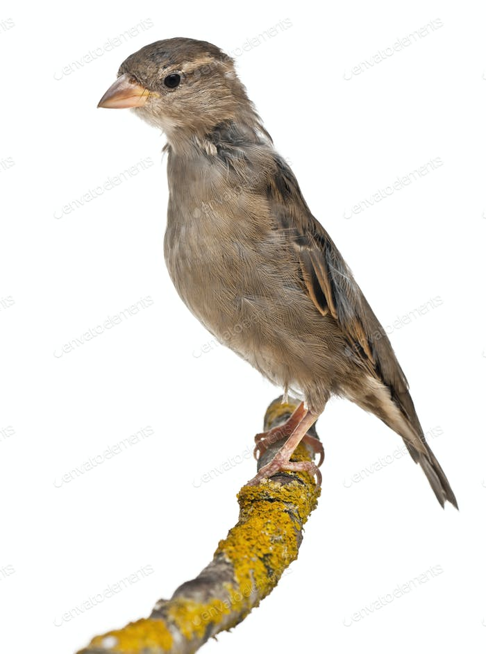 Female House Sparrow, Passer domesticus, 4 months old, on a branch in front of white background