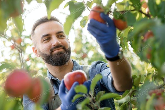 Glad satisfied farm owner, agronomist, farmer harvesting in organic garden
