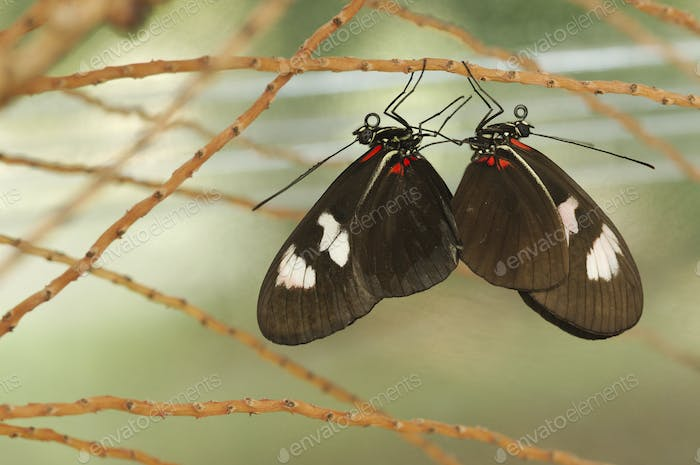 Colorful Tropical butterflies perched on twigs and leaves
