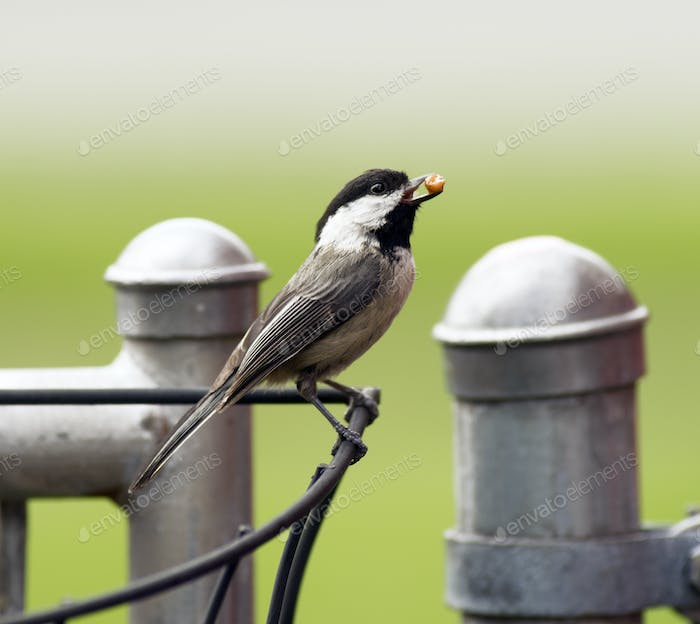 Black-capped Chickadee Bird Perched Fence Taking Food To Young