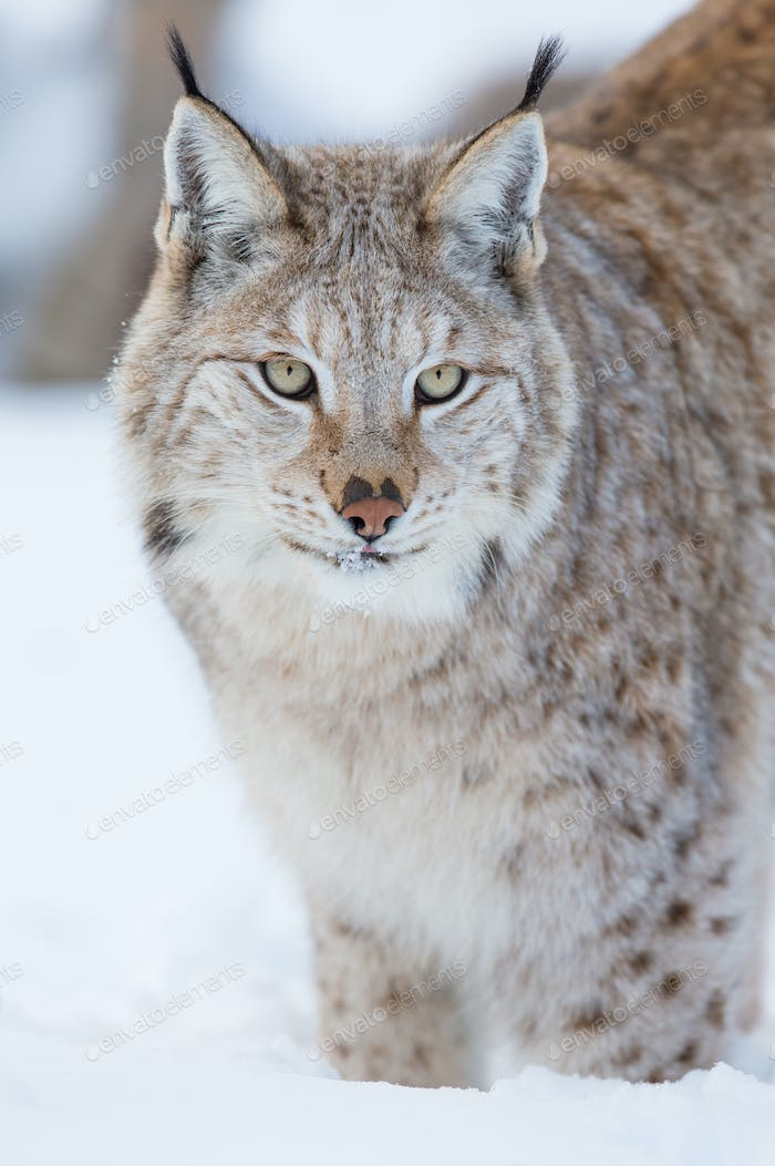 Proud lynx standing in the snow