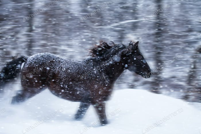 Fast Horse Galloping during a Blizzard in Nature