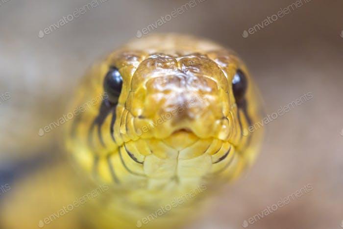 Yellow snake python Head, Costa Rica