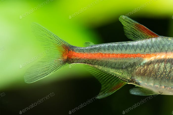 ?lose-up of tail and fins of aquarium fish the Glowlight neon tetra