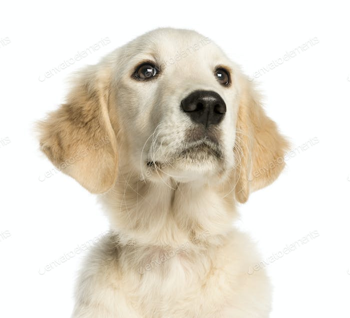 Close-up of a Young Golden Retriever, 5 months old, isolated on white