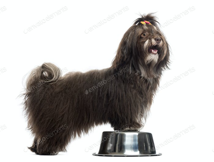 Side view of a Havanese panting, paws in a metallic bowl, isolated on white