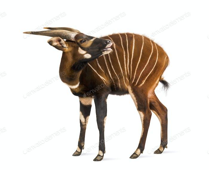 Bongo sniffing, antelope, Tragelaphus eurycerus standing against white background