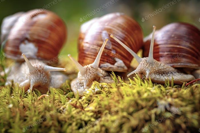 Helix pomatia also Roman snail, Burgundy snail