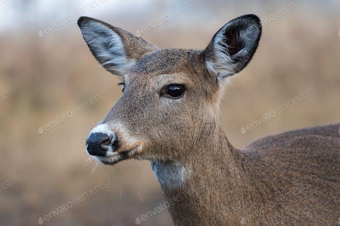 White-tailed Deer Female, Odocoileus Virginianus
