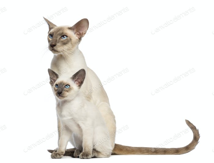Oriental Shorthair father sitting with its kitten, 9 weeks old