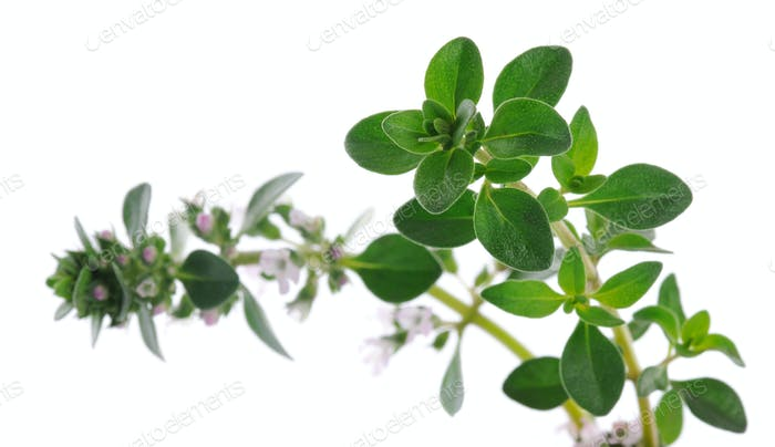 Thyme close up