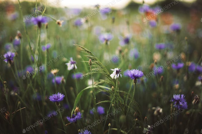 Wheat and cornflowers in sunset light in summer meadow,
