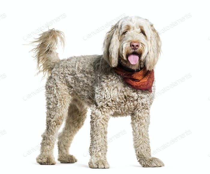 Portuguese Water Dog standing and panting, cut out