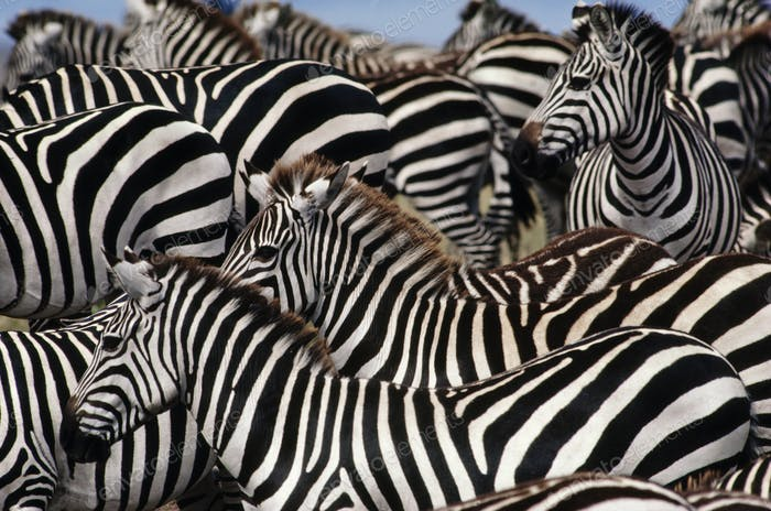 Zebra herd, Equus quagga, Masai Mara Reserve, Kenya