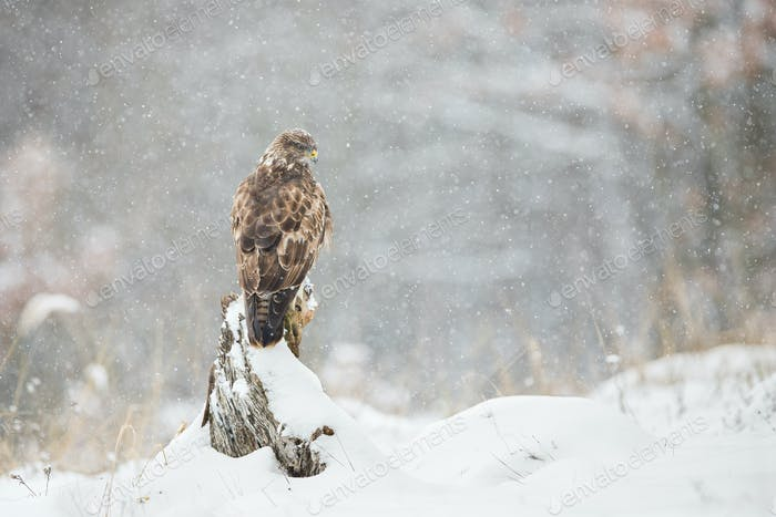 Common buzzard sitting on a tree stump with snow falling around in winter