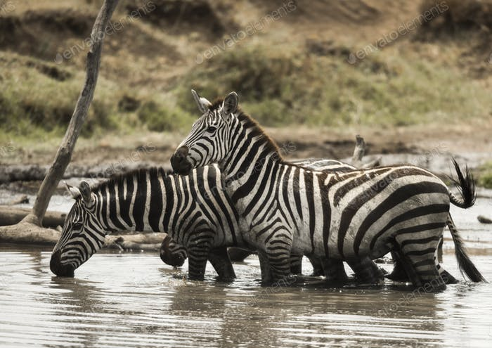Zebras standing and drinking in a river, Serengeti, Tanzania, Africa