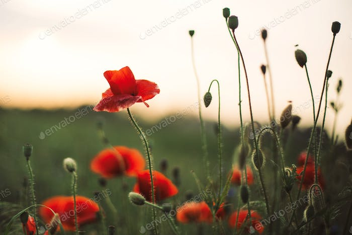 Poppy flowers and green grass in sunset light in summer meadow
