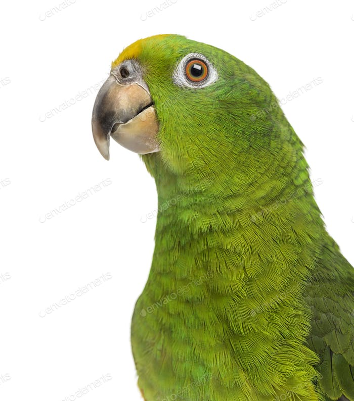Close-up of a Panama Yellow-headed Amazon (5 months old) isolated on white