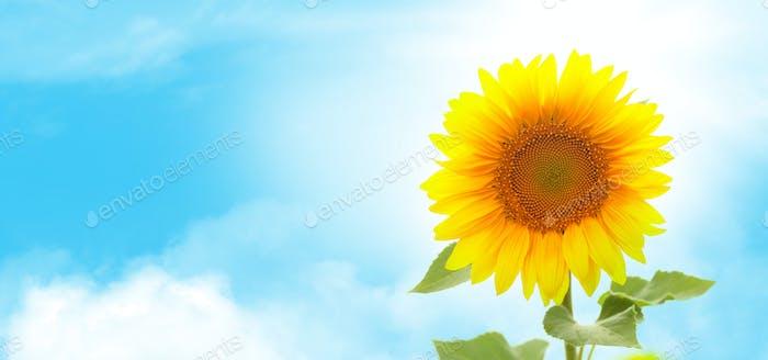 Sonnige Sonnenblume