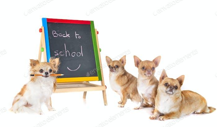 chihuahuas in school