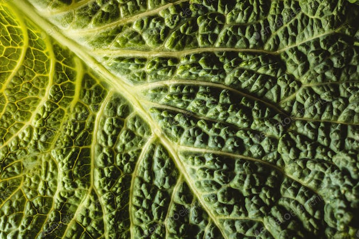 Cabbage leaf from top view