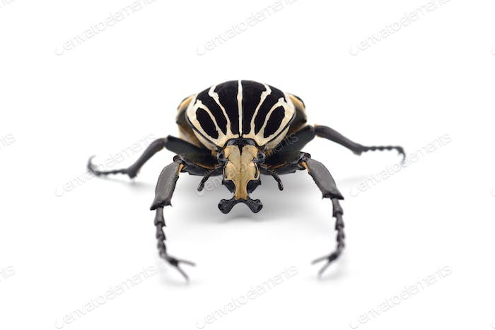 The African Goliath Beetles isolated on white background