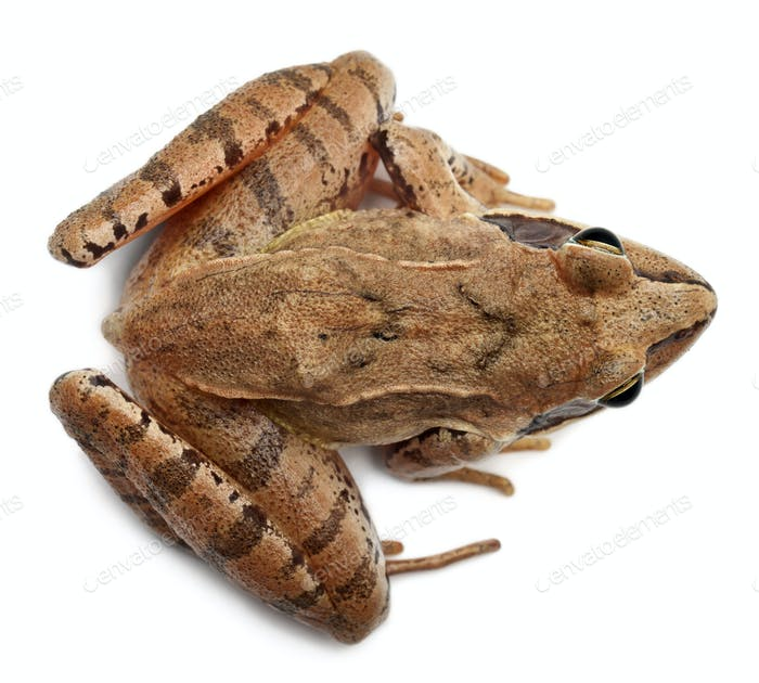 High angle view of a Moor Frog, Rana arvalis, in front of white background
