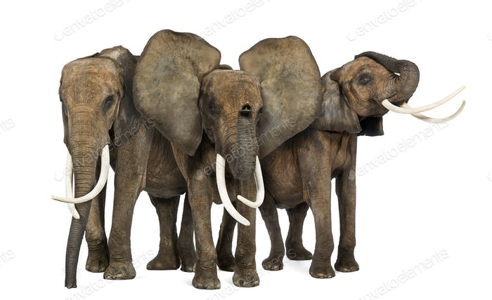 Front view of three African elephants facing, standing, isolated on white