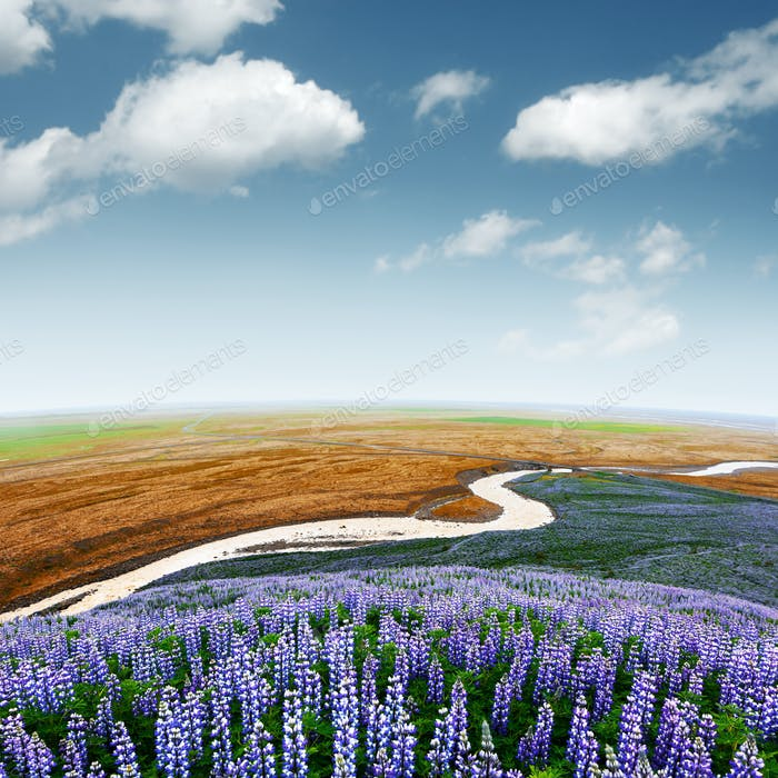 Iceland landscape with lupine