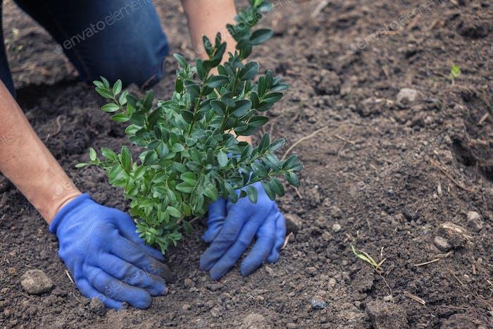 Gardener planting a shrub in a garden