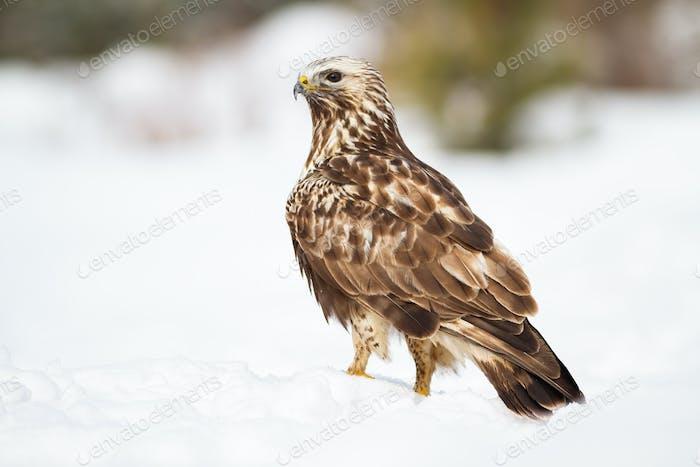 Fierce common buzzard sitting on snow in winter nature