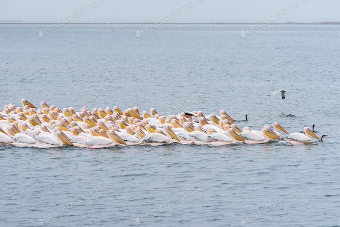 Great white pelicans swimming in formation