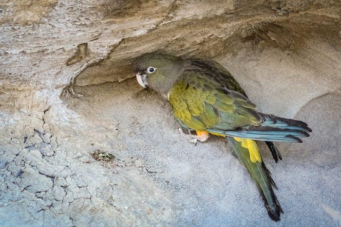 GreenPatagonian Papagei
