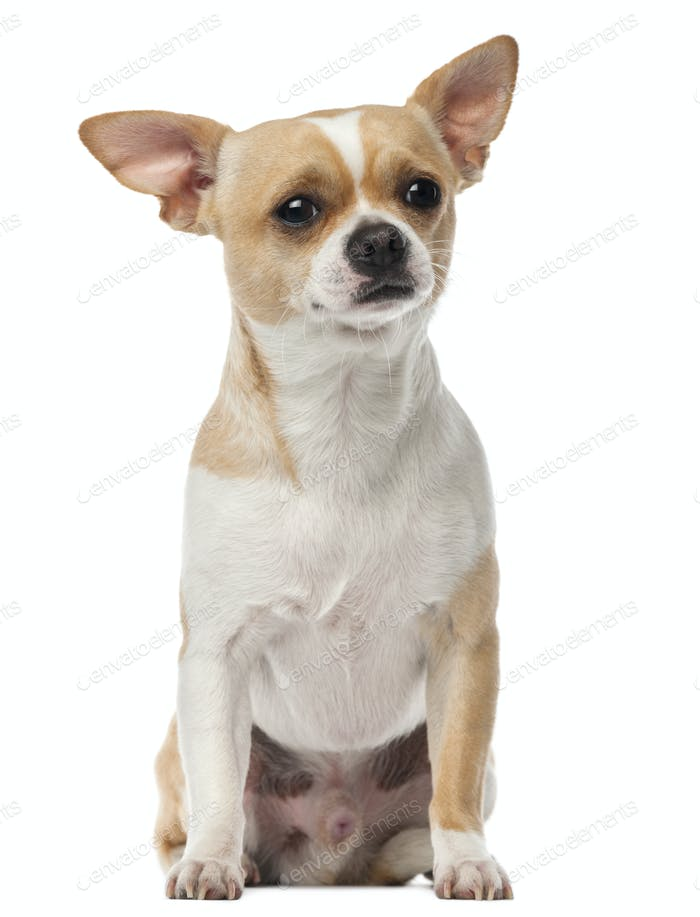 Chihuahua, 2 years old, sitting and looking at camera against white background