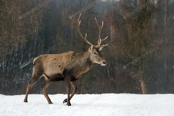 Red deer in winter forest