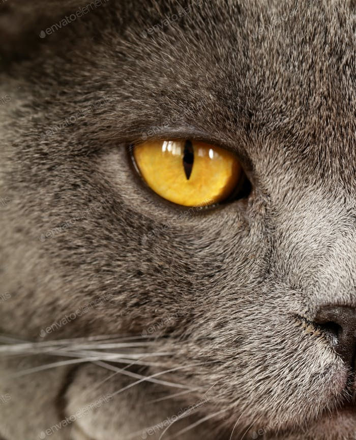 Pet - British Shorthair Cat