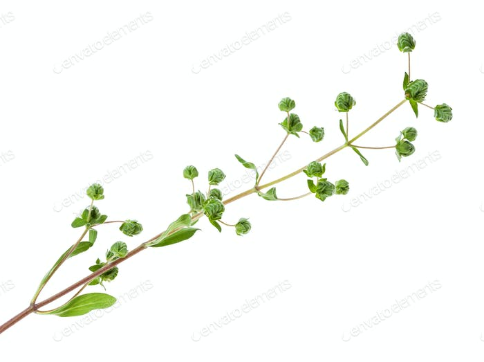 branch with buds of fresh marjoram herb isolated