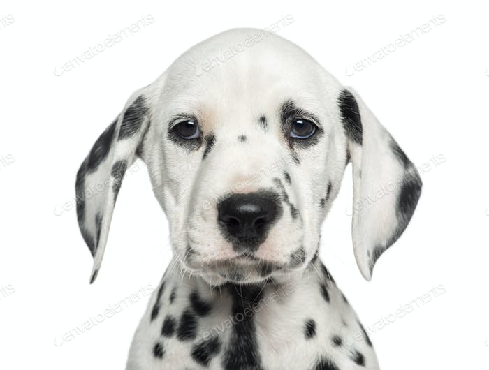 Close-up of a Dalmatian puppy facing, looking at the camera, isolated on white