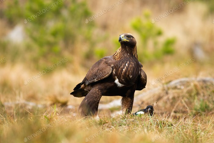 Dominant adult golden eagle inspecting environment with interested look
