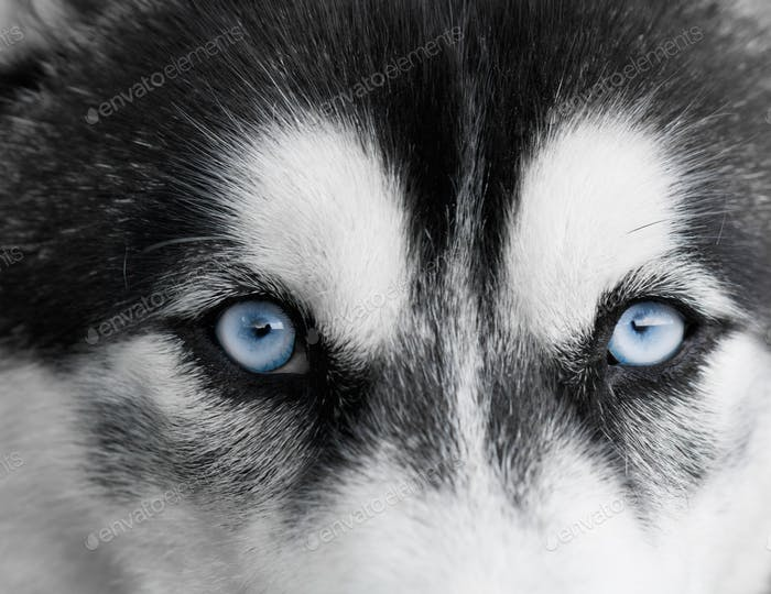 Portrait of beautiful Siberian Husky dog. Close up.