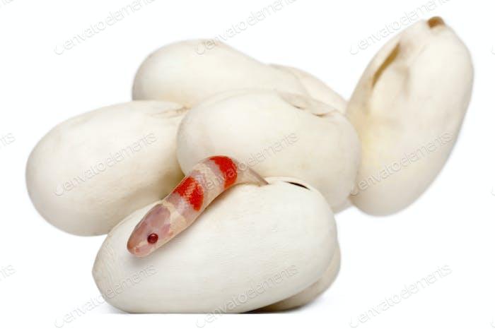 Hypomelanistic milk snake or milksnake, lampropeltis triangulum hondurensis, 1 minute old