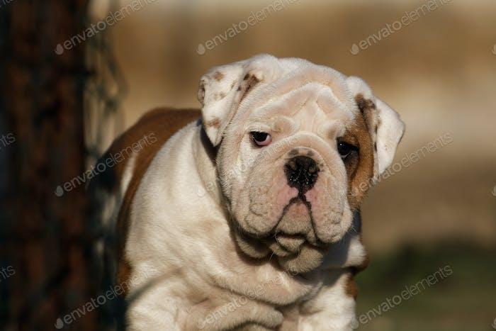 Portrait of puppy english bulldog