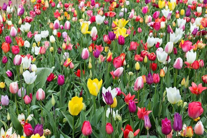 Tulips in the Keukenhof