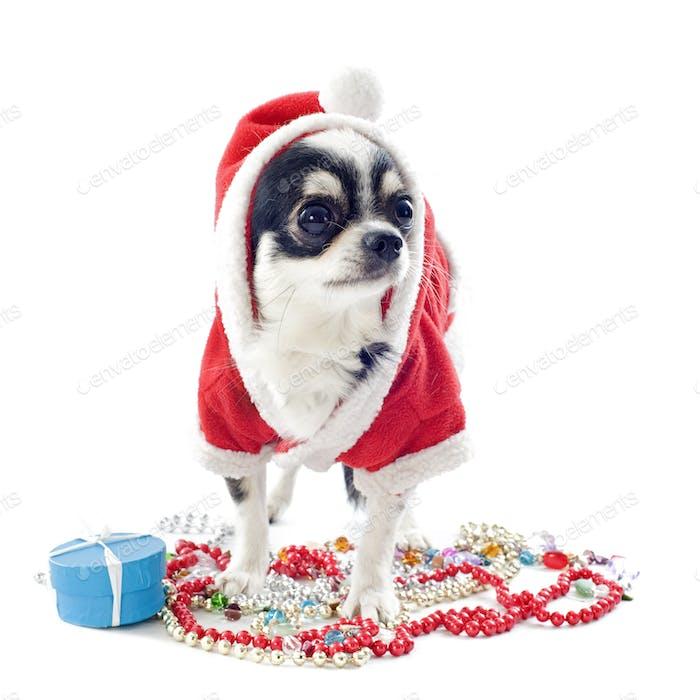 Santa claus chihuahua