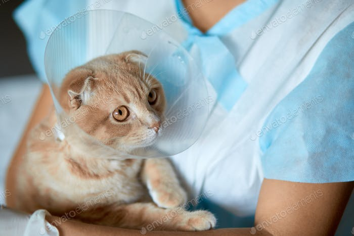 Female veterinarian doctor is holding on her hands a cat with plastic cone collar